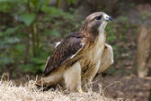 Red Tailed Hawk — Stock Photo