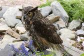 大角鸮 — 图库照片