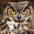 Great Horned Owl Head Shot — Stock Photo #8071688