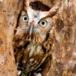 Screech Owl — Stock Photo