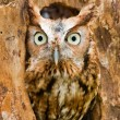 Stock Photo: Screech Owl