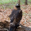 Stock Photo: Golden Eagle in Woods