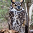 Great Horned Owl — Stock Photo #8072420