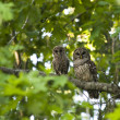 Mother and Baby Barred Owl — Stock Photo #8072721