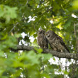 Mother and Baby Barred Owl — Stock Photo #8072733