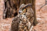 Great horned owl — Stockfoto