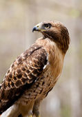 Red tailed hawk sidovy — Stockfoto