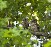 Madre y bebé barred owl — Foto de Stock