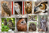 Owl Collage — Stock Photo