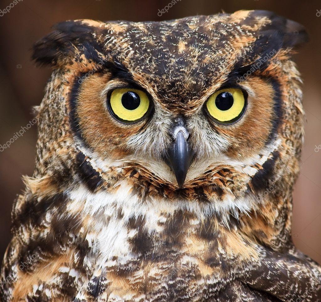 Great Horned Owl Head Shot — Stock Photo © JillLang #8071688