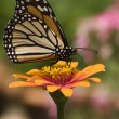 Monarch Butterfly — Stock Photo #8106706