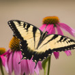 Swallowtail Butterfly on Cone Flowers — Stock Photo
