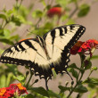 Butterfly on Lantana — Stock Photo #8109564