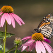 Stock Photo: Monarch Butterfly on Coneflowers