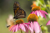 Monarch motýl a včela — Stock fotografie