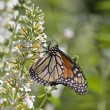 Monarch Butterfly — Stock Photo #8159586