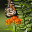 Monarch Butterfly on Milkweed — Stock Photo #8159599