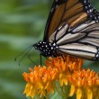 Butterfly on Milkweed — Stock Photo #8159621