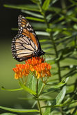 Monarch Butterfly on Milkweed — Stock Photo