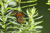 Butterfly Laying Eggs — Stock Photo
