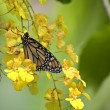 Monarch Butterfly on Yellow Orchids — Stock Photo