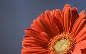 Orange Gerber Daisy — Stock Photo