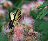 Butterfly on Mimosa — Stock Photo