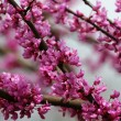 Redbud Tree Blooms — Stock Photo #8213048