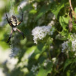 Stock Photo: Garden Spider