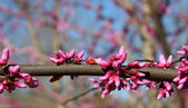 Redbud Tree Blooms — Stock Photo
