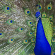 Stock Photo: Pretty Peacock