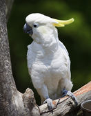 Cockatoo Perched — Stock Photo
