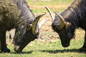 Water Buffalo Butting Heads — Photo