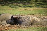 Water Buffalo — Stock Photo