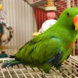 Eclectus Parrot — Stock Photo #8409973