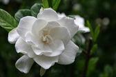 Witte gardenia — Stockfoto