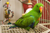 Eclectus Parrot — Stock Photo