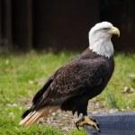 Bald Eagle — Stock Photo #8439299