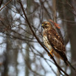 Stock Photo: Hawk on Tree Limb