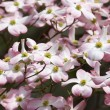 Pink Dogwood Blooms — Stock Photo