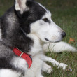 Husky Dog Profile — Stock Photo