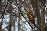 Hawk on a Tree Limb — Stock Photo