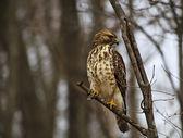 Hawk sur une branche d'arbre — Photo
