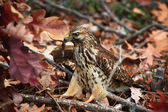 Red Tailed Hawk Catching a Lizard — Stock Photo