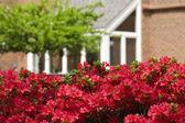 Azaleas in the Spring — Stock Photo