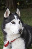 Husky Dog Profile — Stock Photo