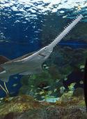 Sawfish — Stockfoto