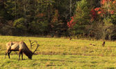 Male Elk and Family — Stock Photo