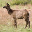Young Elk - Stock Photo
