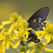 Stock Photo: Black Swallowtail on Yellow Wildflowers